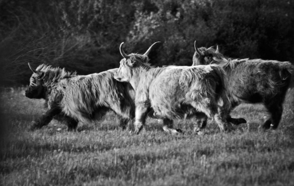 vaches_ecossaises-1
